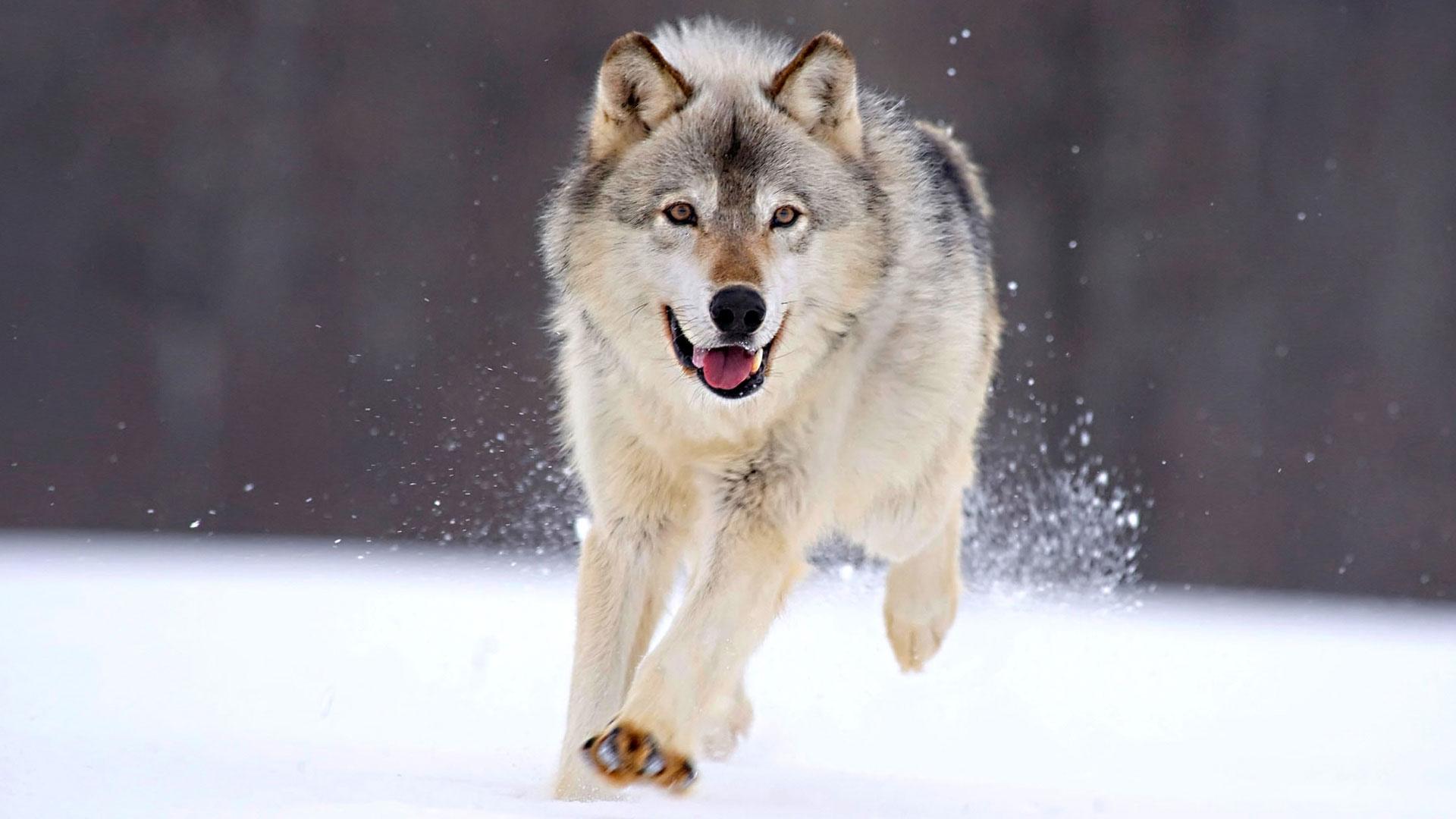 Картинки Волки скачать на рабочий стол бесплатно (25)