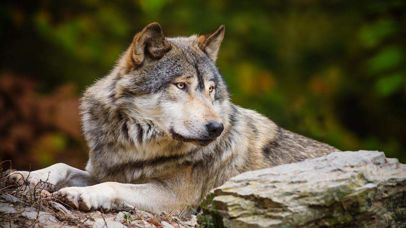 Картинки Волки скачать на рабочий стол бесплатно (8)