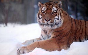 Картинки амурский тигр фото 020