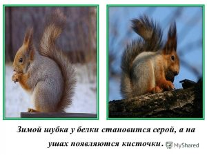 Картинки белка зимой для детей 022