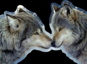 Картинки волки со смыслом   подборка 026
