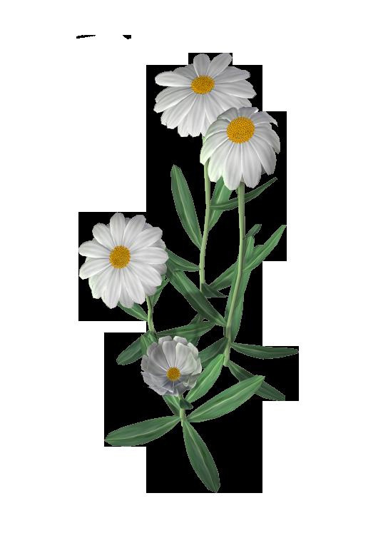 Картинки цветов ромашки для детей, открытки