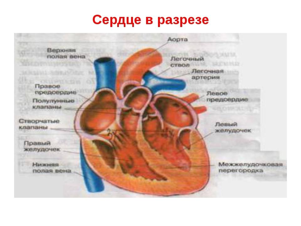 Картинки для детей сердце человека   рисунки 006