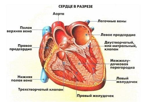 Картинки для детей сердце человека   рисунки 010