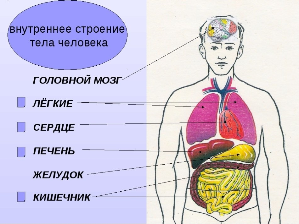 Картинки для детей сердце человека   рисунки 011