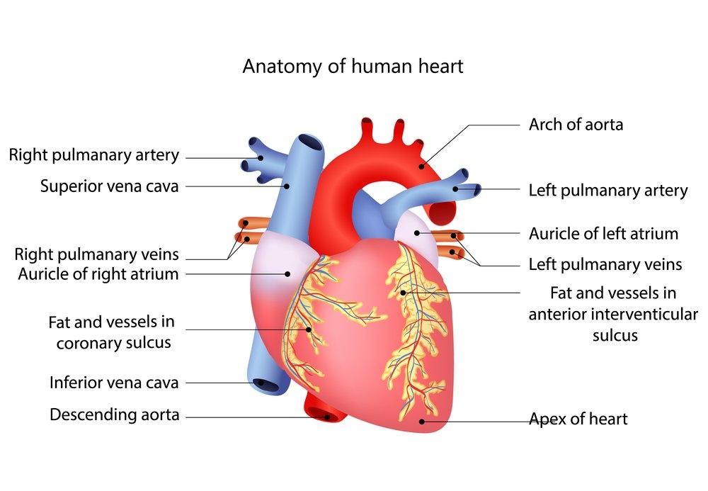 Картинки для детей сердце человека   рисунки 012