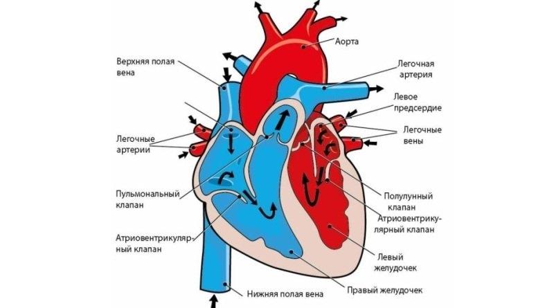 Картинки для детей сердце человека   рисунки 024