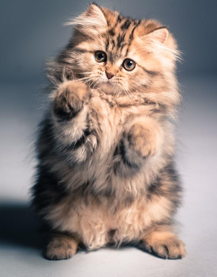Дню экологии, картинки красивые кошки пушистые
