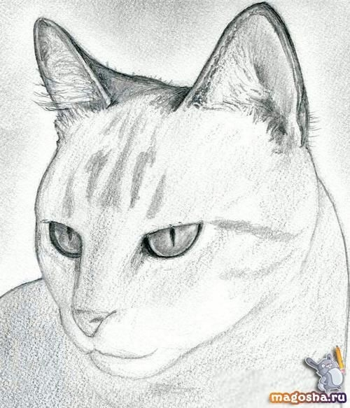 Картинки кошки карандашом для срисовки 020