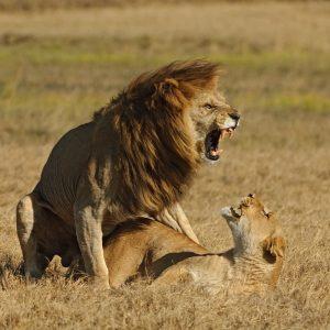 Картинки львица рычит на льва   подборка 027