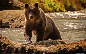 Картинки медведь на рабочий стол (28)