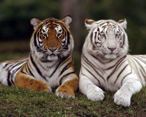 Картинки на рабочий стол львы и тигры015