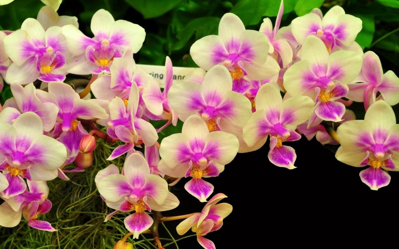 Спокойной, картинки орхидей на рабочий стол красивые большие на весь экран