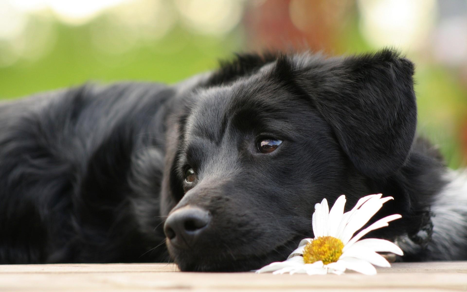 делятся картинки рабочего стола черные собаки многих