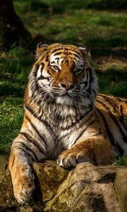 Картинки на телефон с тиграми   скачать бесплатно (17)