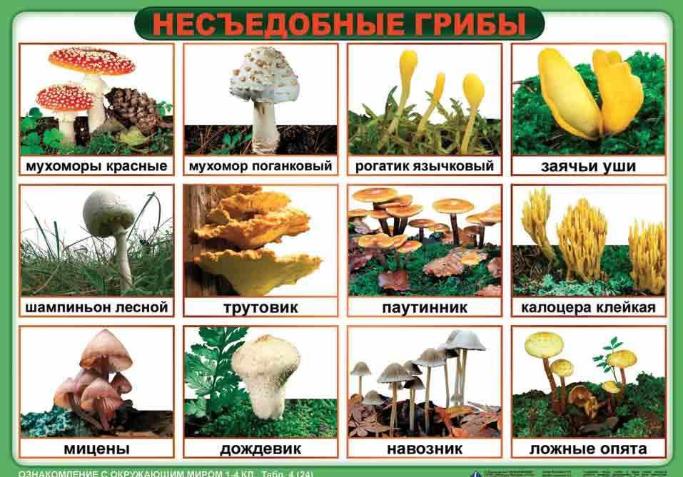 название несъедобных грибов с фото и названиями