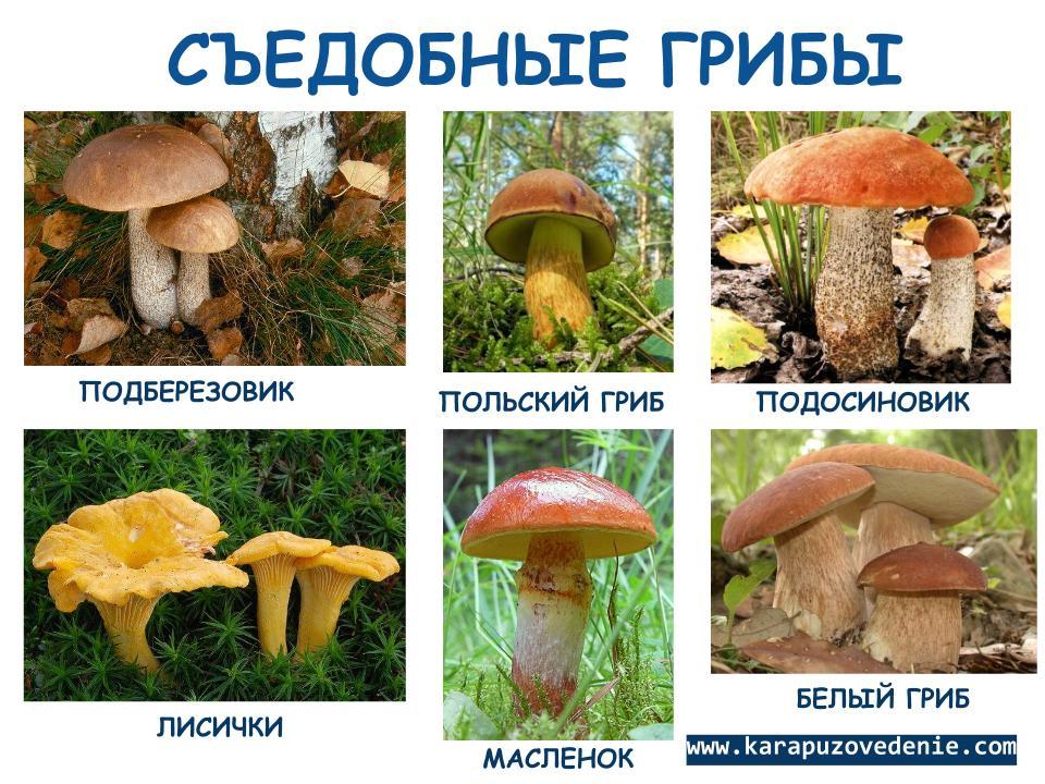 покупайте все грибы фото с названиями съедобные и несъедобные каталог тонких редких волос