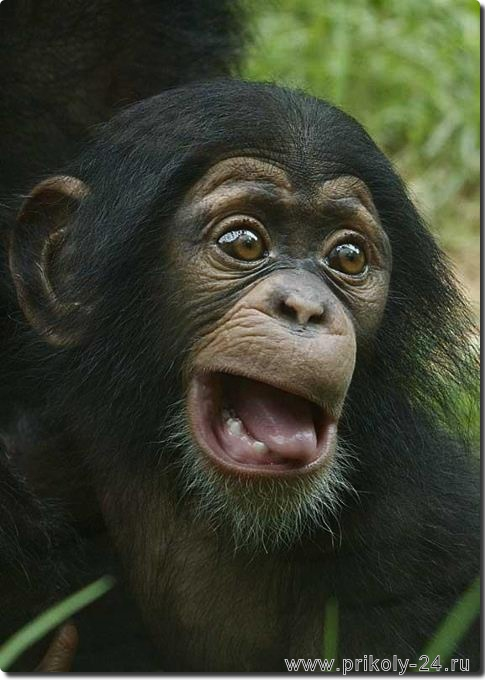 Картинки про обезьян прикольные и веселые 020