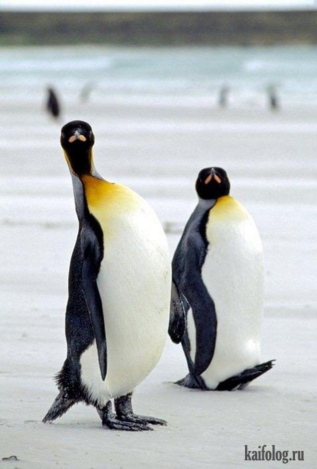 Картинки смешные с пингвинами 001