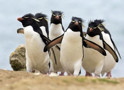 Картинки смешные с пингвинами 012