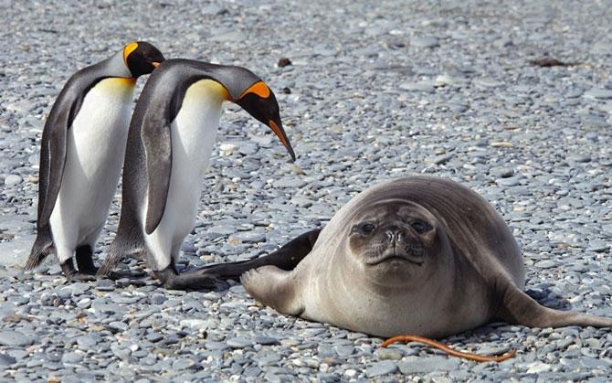 Картинки смешные с пингвинами 019
