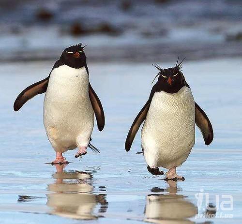 Картинки смешные с пингвинами 023