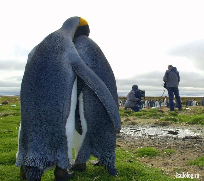 Картинки смешные с пингвинами 025