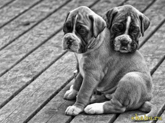 Картинки собаки черно белые картинки и фото001