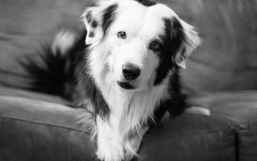 Картинки собаки черно белые картинки и фото002