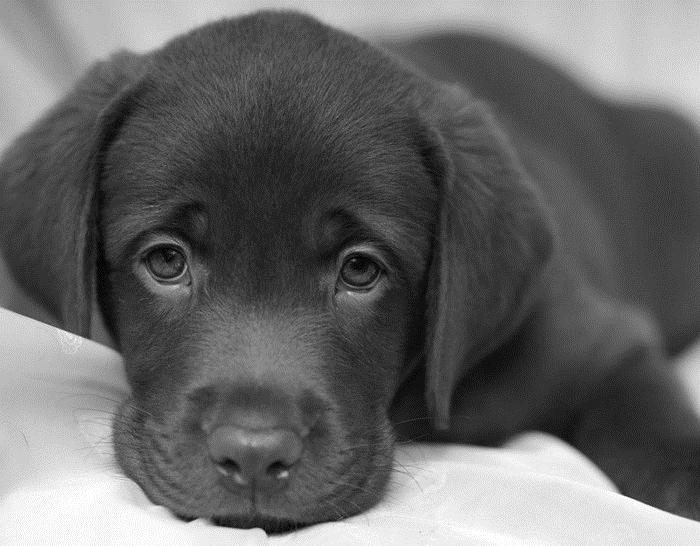 Картинки собаки черно белые картинки и фото008