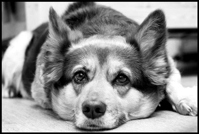 Картинки собаки черно белые картинки и фото014