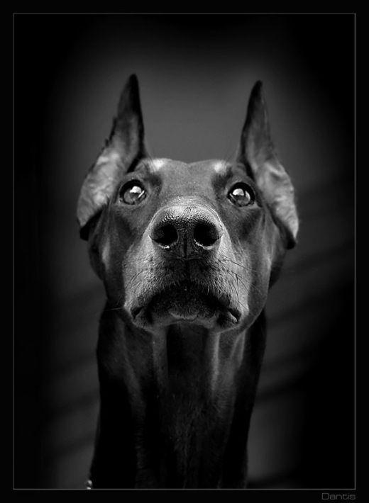 Картинки собаки черно белые картинки и фото015