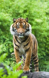 Картинки с добрым утром тигр   подборка 022