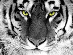 Картинки с тигром на телефон   подборка 015