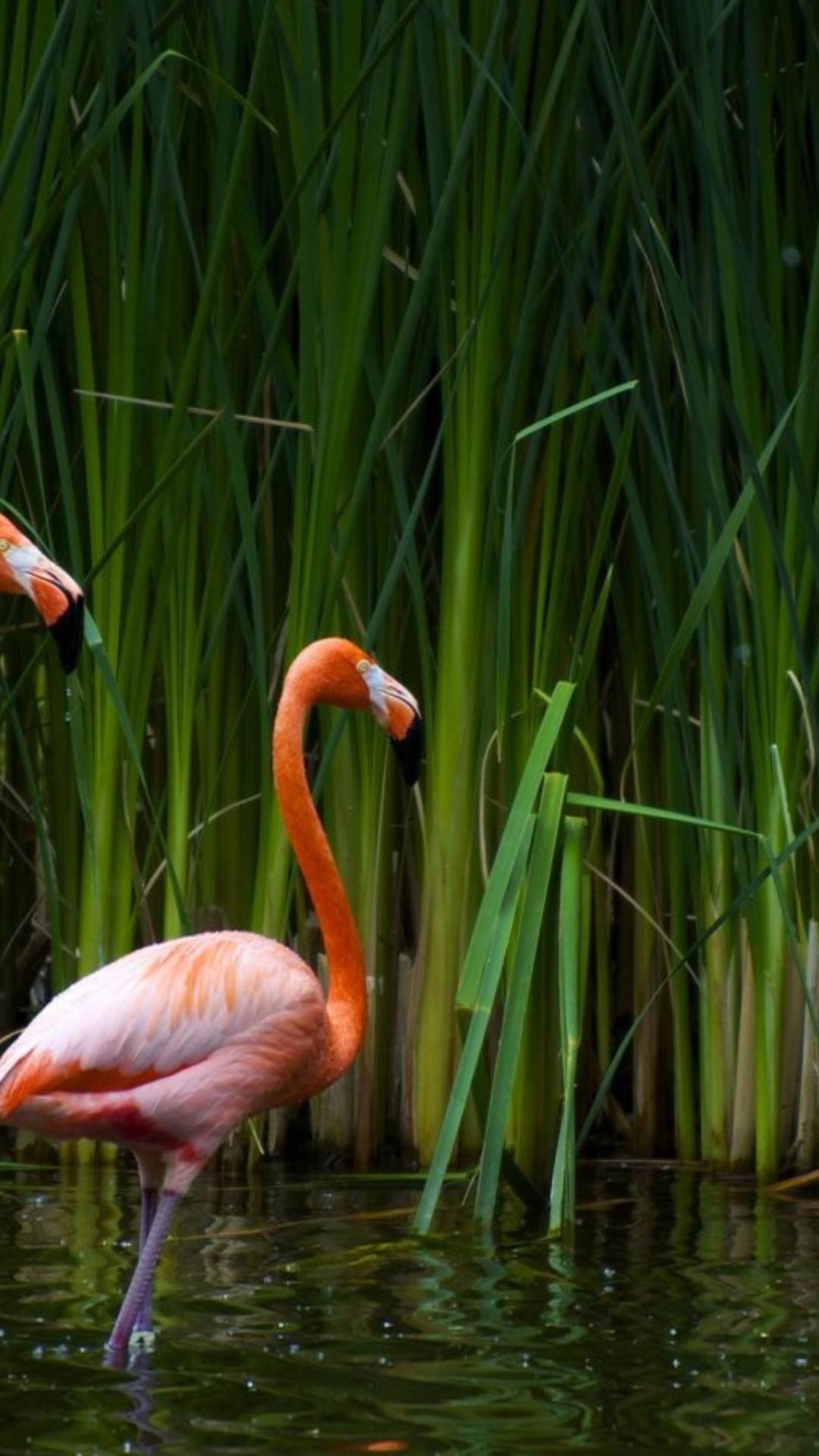 Картинки с фламинго на заставку   подборка (16)