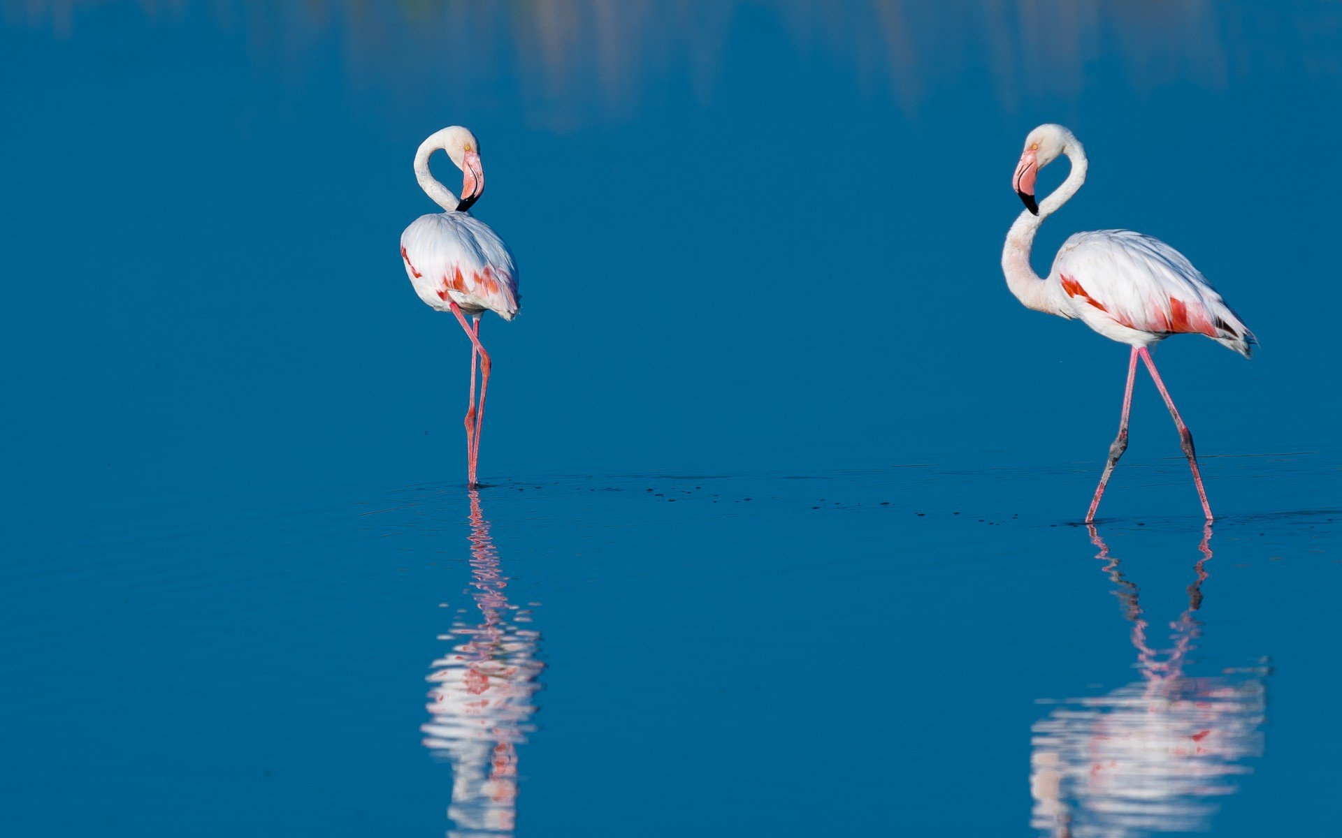 Картинки с фламинго на заставку   подборка (17)