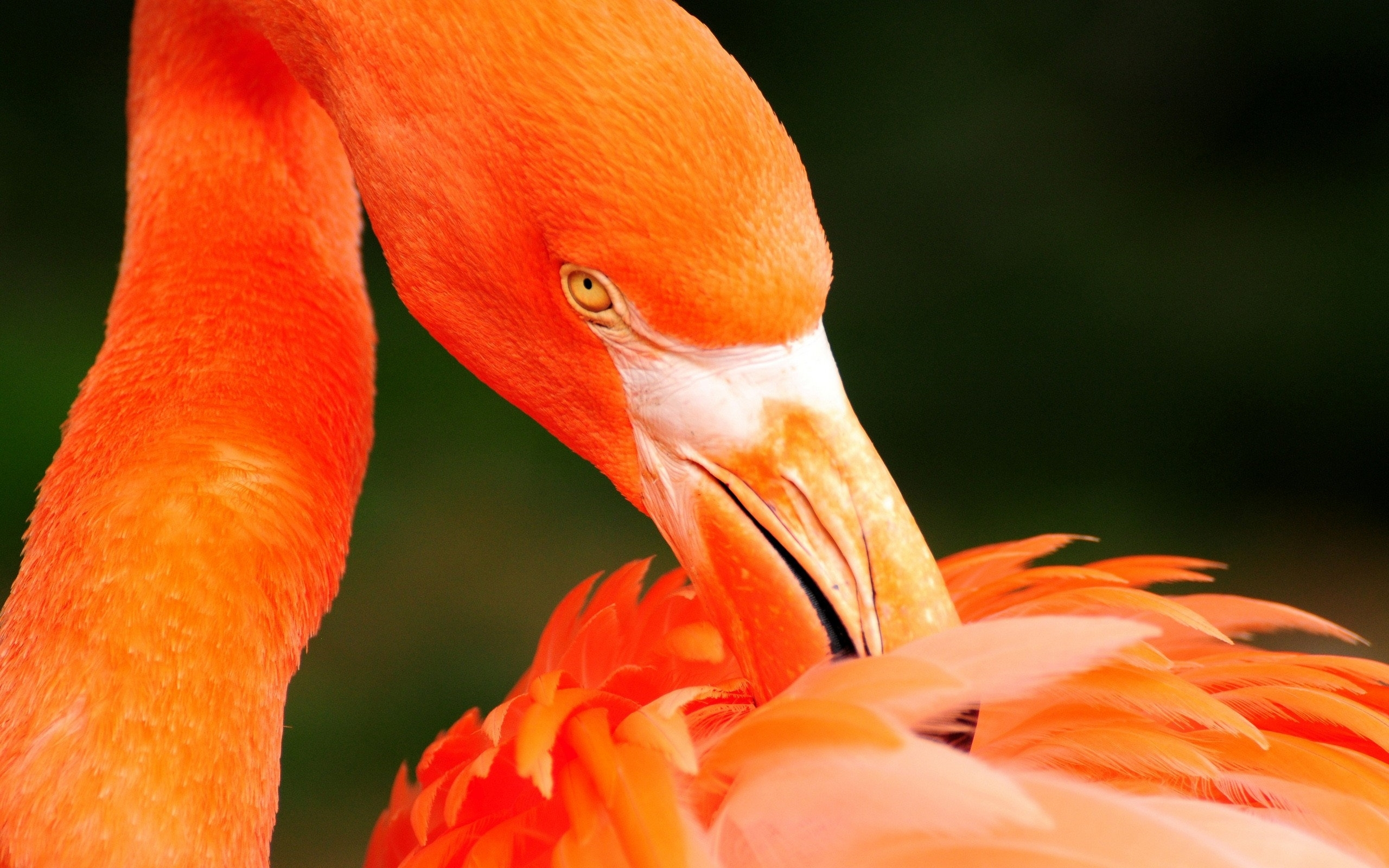 Картинки с фламинго на заставку   подборка (6)