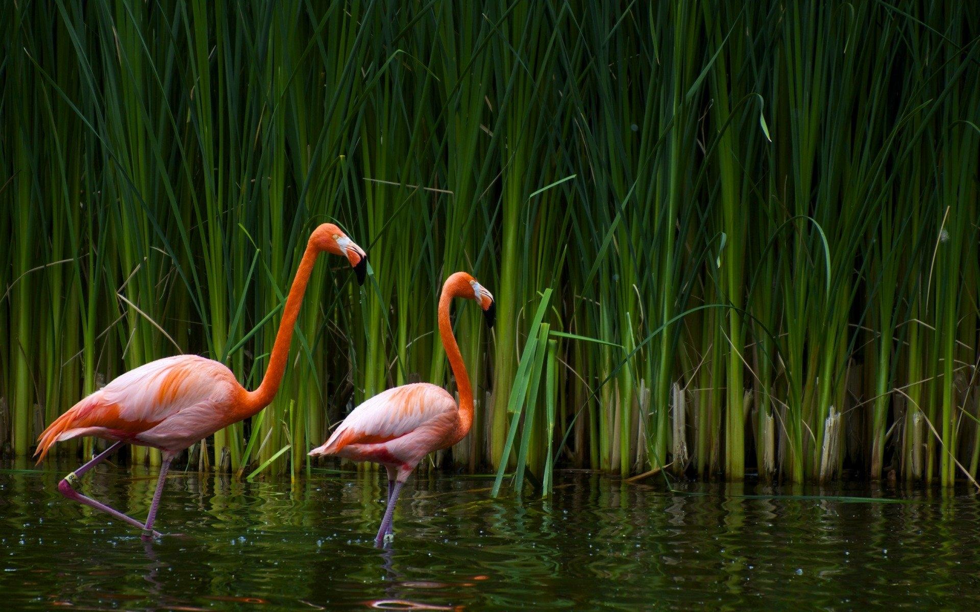 Картинки с фламинго на заставку   подборка (7)