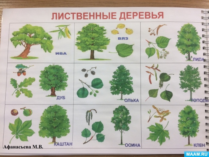 Все названия деревьев с картинками