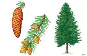 Картинки хвойные деревья для детей 026