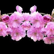 Картинки цветов на прозрачном фоне для презентации (19)