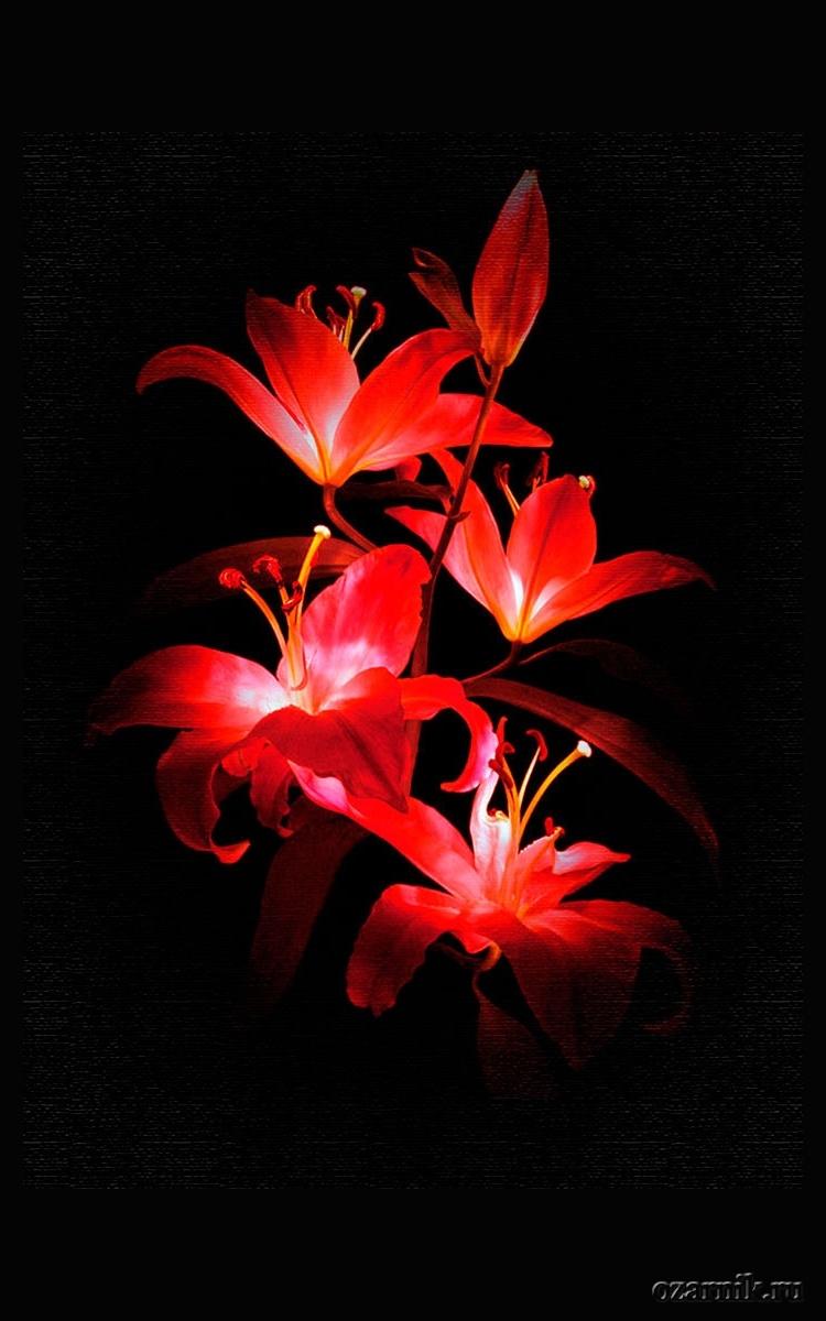 Напоминанием себе, картинки на телефон цветы на темном фоне