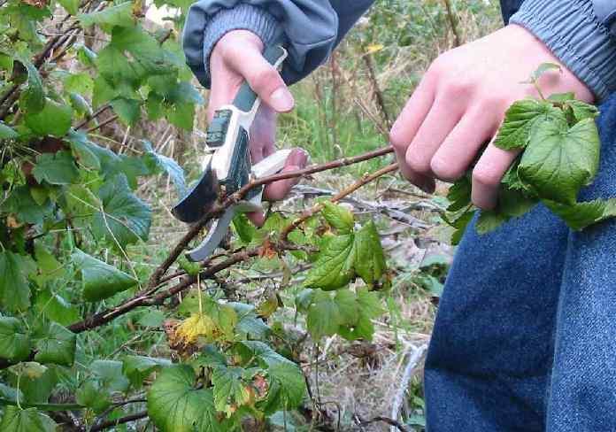 Когда сажают смородину весной или осенью (2)