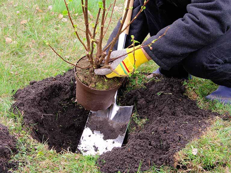 Когда сажают смородину весной или осенью (3)