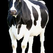 Корова на прозрачном фоне   картинки для детей (38)