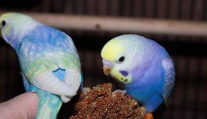 Красивые картинки голубых попугаев волнистых 023