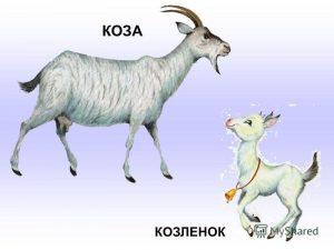 Красивые картинки коза с козленком024