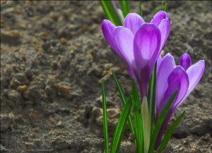 Красивые обои весенние цветы на рабочий стол   подборка (45)