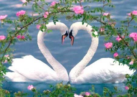 Красивые фото двух влюбленных лебедей 001
