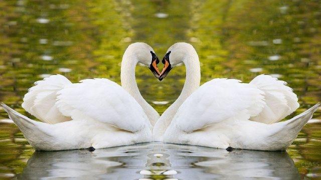 Красивые фото двух влюбленных лебедей 002